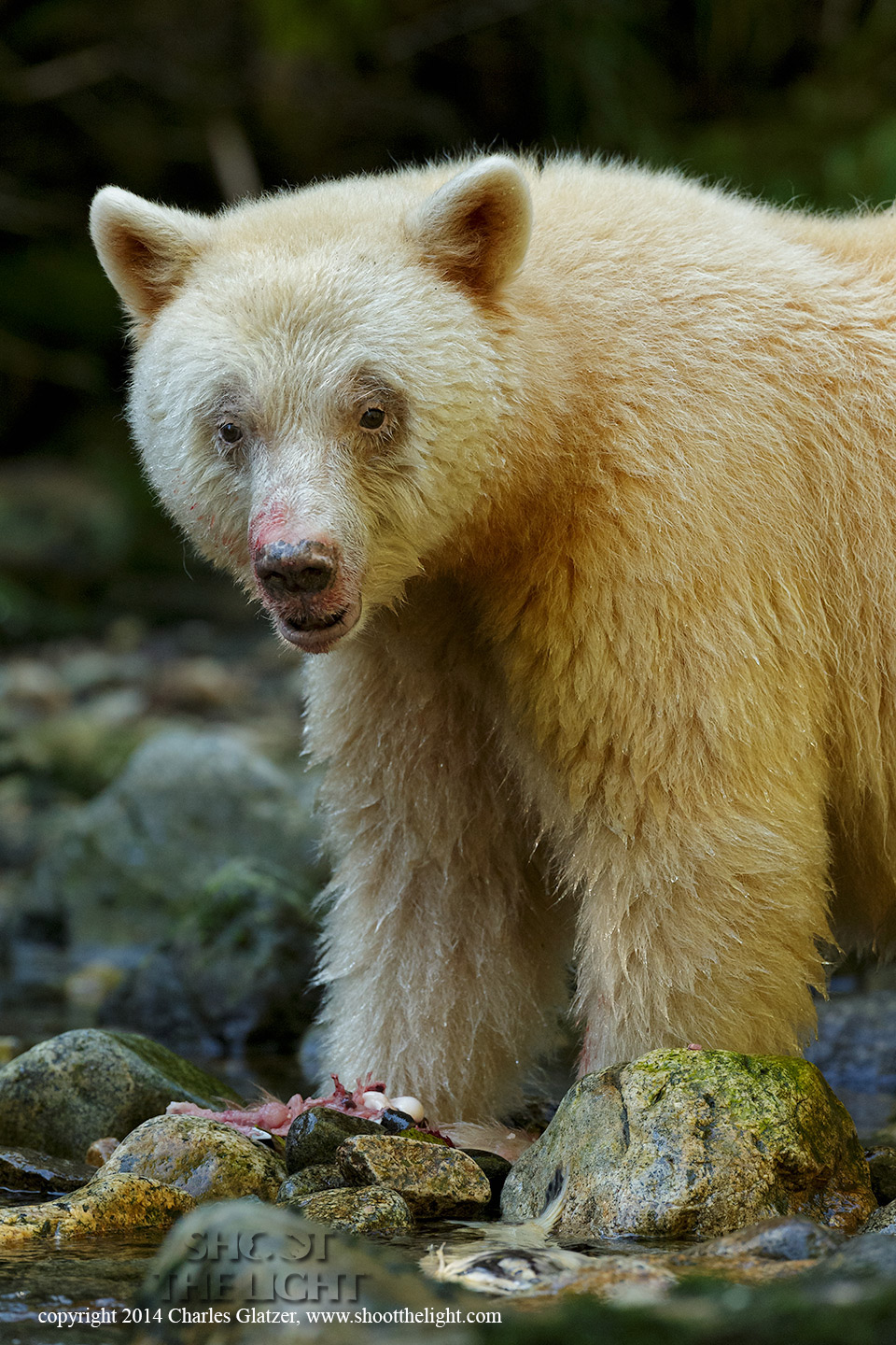 Spirit-bear-0447-Edit