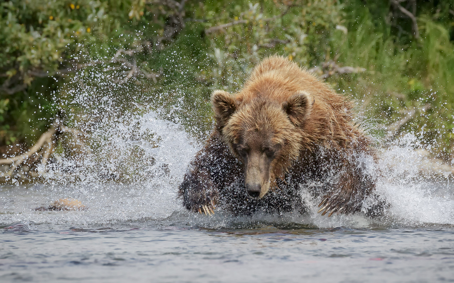 brown-bears,-0815-2417-Edit-2