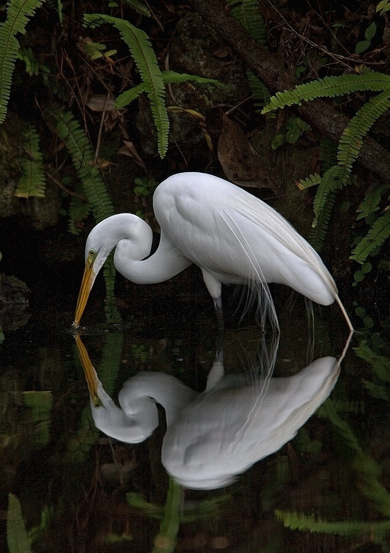 egret-w-reflection-copy-DUP.jpg